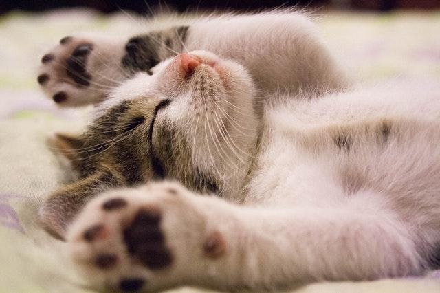 En kattekilling ligger og sover
